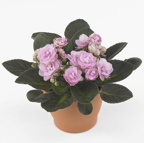 Saintpaulia pink wave photo royal floraholland
