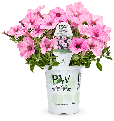 Sales tracking shows that supertunia vista bubblegum petunia is consistently popular with consumers photo four star greenhouse