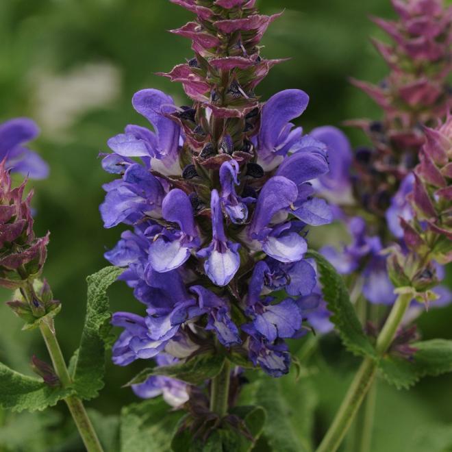 Salvia blue marvel photo darwin perennials