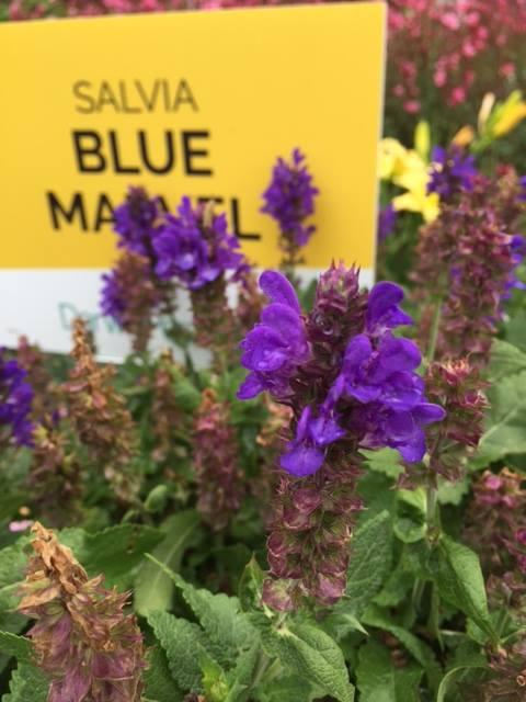 Salvia blue marvel