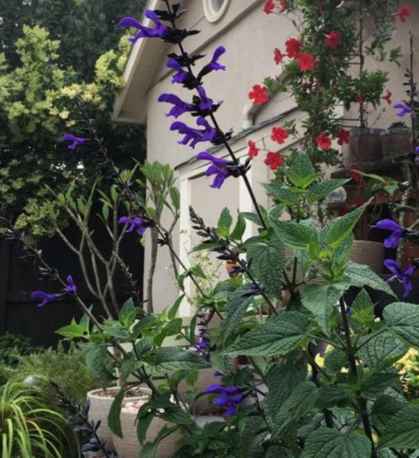 Salvia bodacious rhytm blue