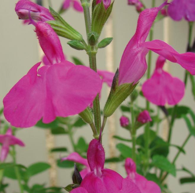 Salvia greggi dayglow