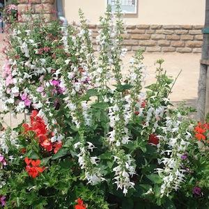 salvia-hummingbird-white-2.jpg
