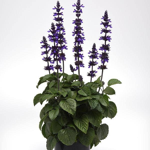 Salvia longispicata x farinacea big blue
