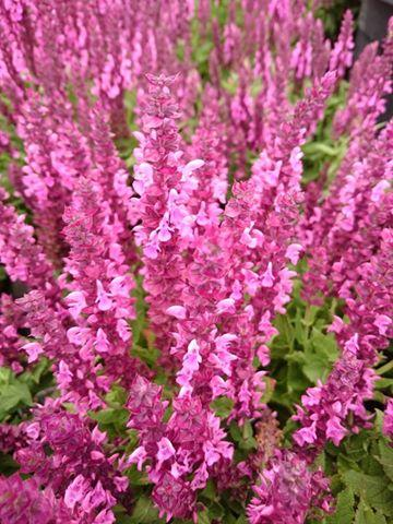 Salvia nemorosa sensation deep rose