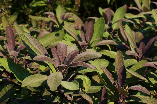 salvia-purpurea.jpg
