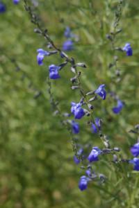 Salvia reptans p016s autumn sapphire photo plant select 200x300