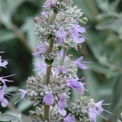Salvia x gayle nielson photo flowers by the sea fbts