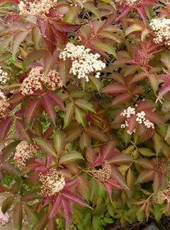 Sambuscus nigra serenade