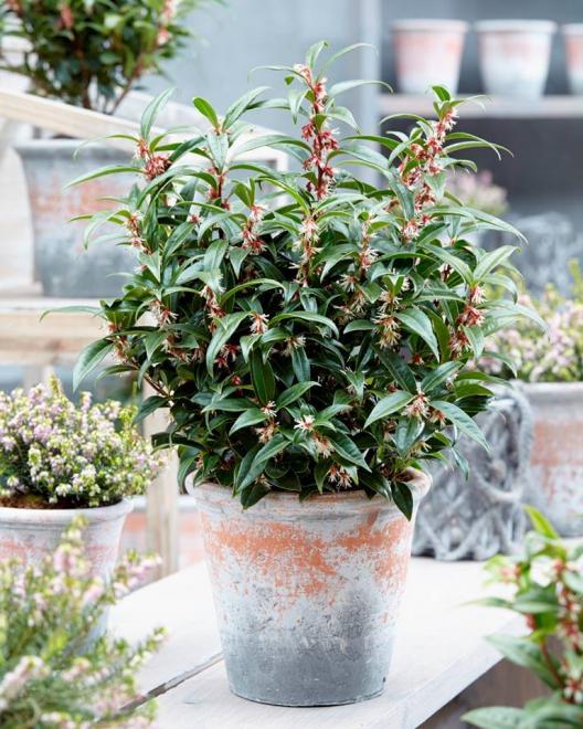 Sarcococca humilis winter gem