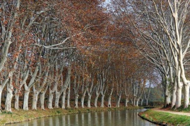 Sauver les platanes du canal du midi grace au mecenat article main large