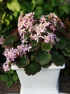 Saxifraga cortusifolia akiko photo bock bio science 225x300