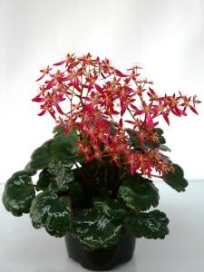 Saxifraga cortusifolia sayuri photo bock bio science 2 225x300