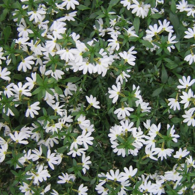 Scaevola abanico pure white