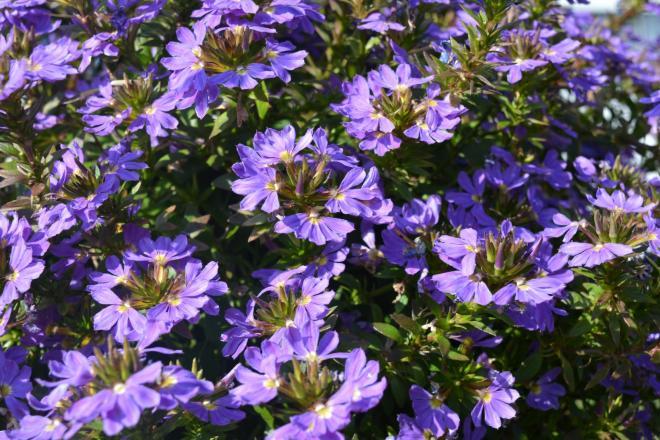 Scaevola abanico purple