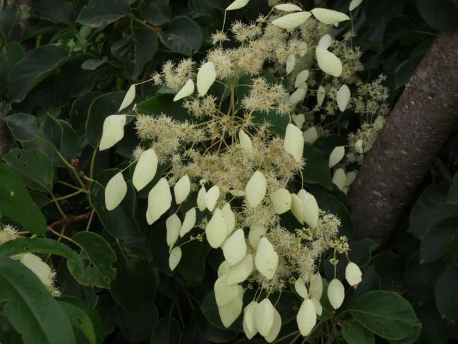 Schizophragma fauriei angel wings 2jpg