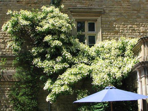 Schizophragma fauriei angel wings