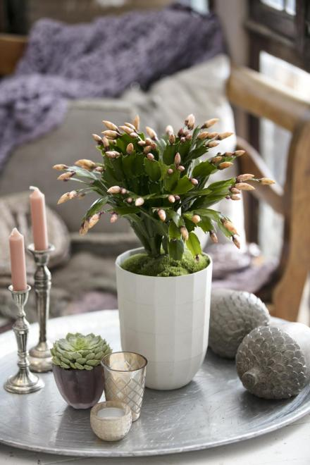 Schlumbergera thor sophia photo thoruplund