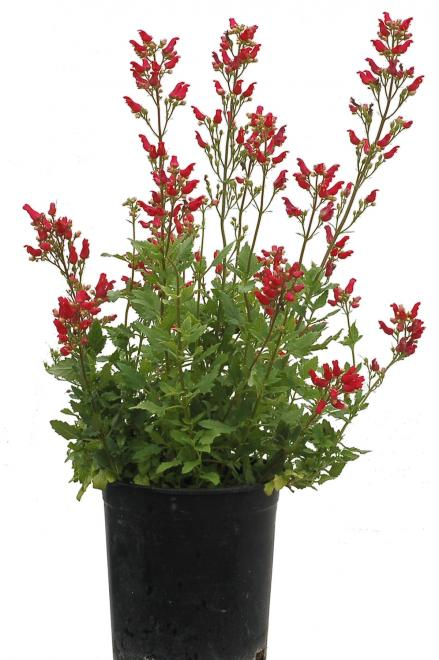 Scrophularia macrantha cardinale red photo terra nova nurseries ii