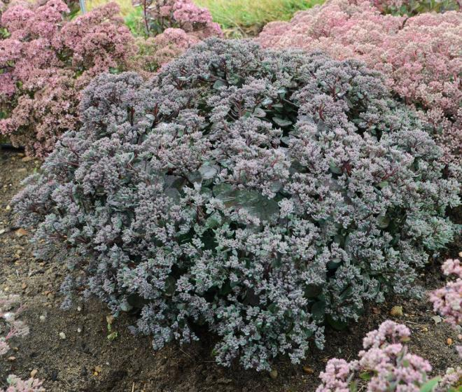 Sedum rock n grow 1