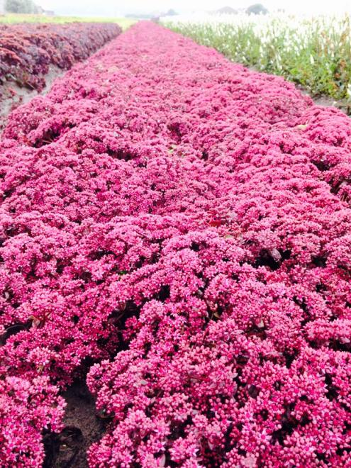 Sedum sunsparkler cherry tart