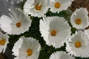 Setwidth308 19 13 cosmos bipinnatus cupcakes white