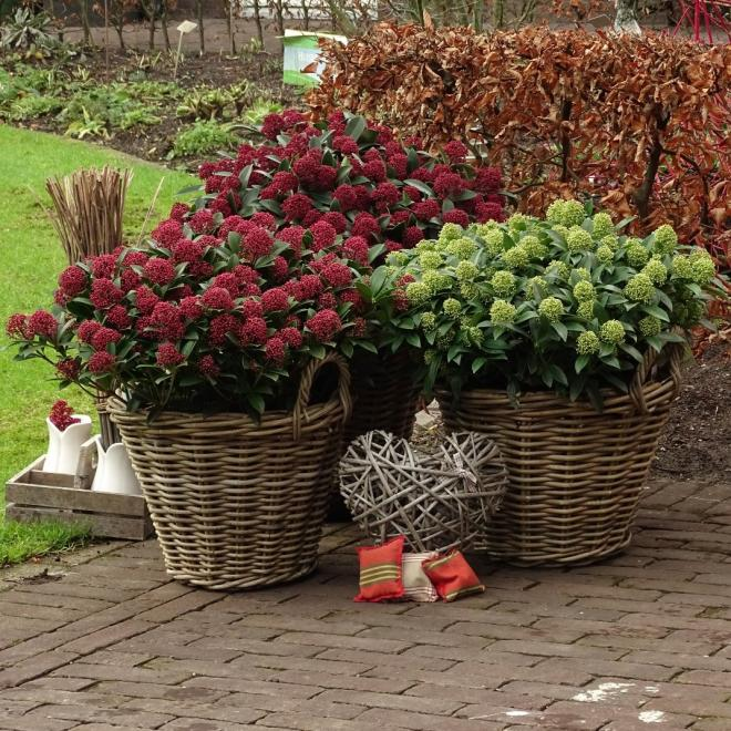 Skimmia japonica dwarf series photo van vliet new plants
