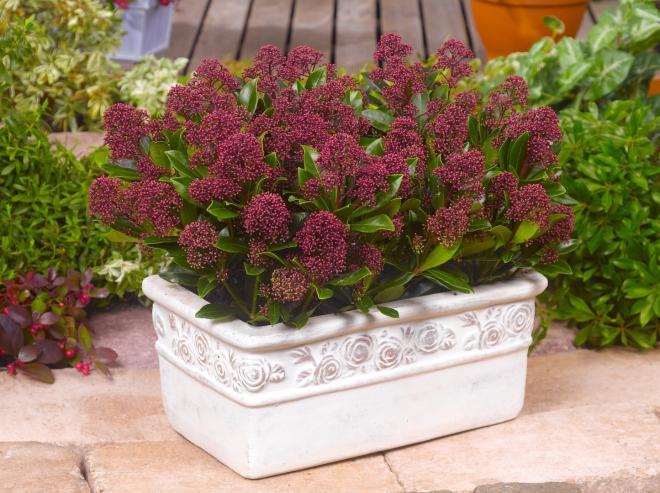 Skimmia japonica moerings 45 rubesta jos photo van vliet new plants