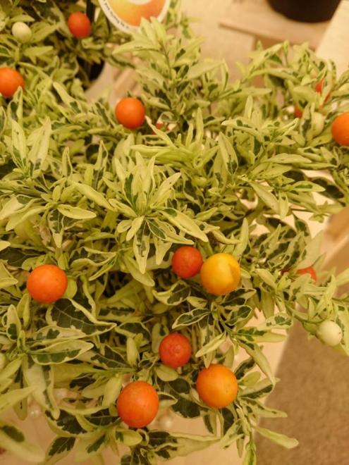 Solanum per luna