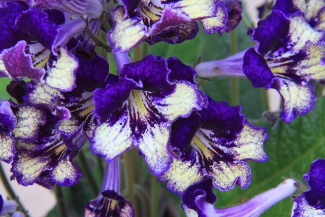 Streptocarpus gold dust photo dibleys nurseries