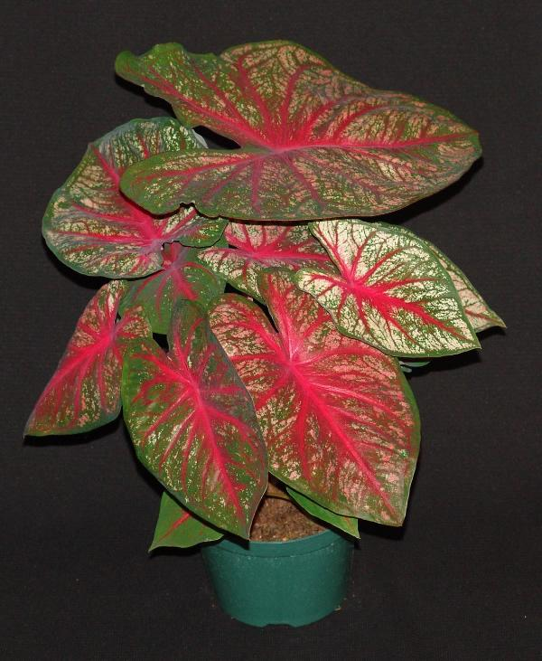 Sunrise de caladiums 1