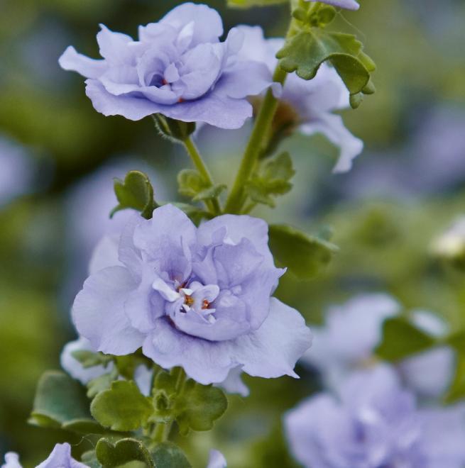 Sutera barito double lavender