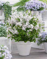 Syringa flowerfesta white 1htm