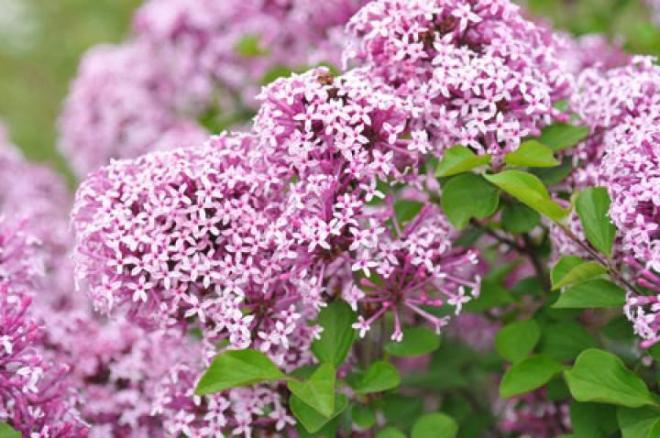 Syringa meyeri lillifee 1