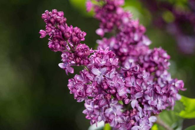 Syringa virtual violet lilac2