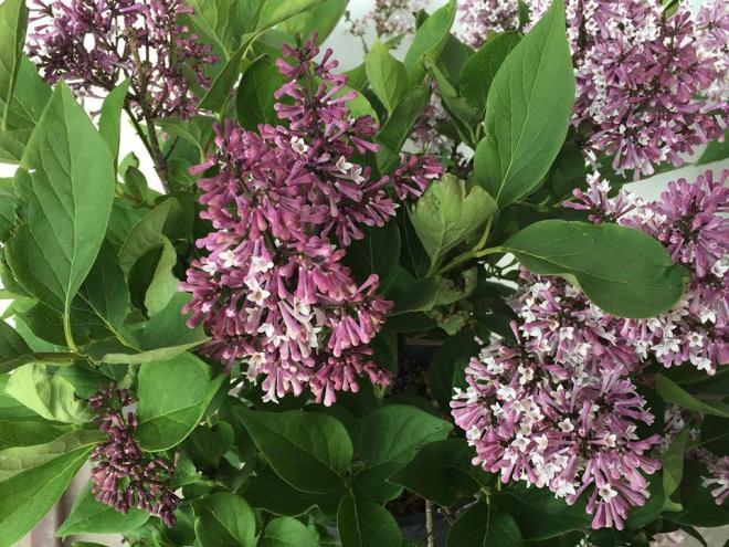 Syringa x little lady 2