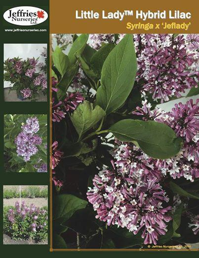 Syringa x little lady
