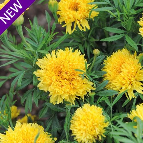 Tagetes erecta simba yellow 500x500
