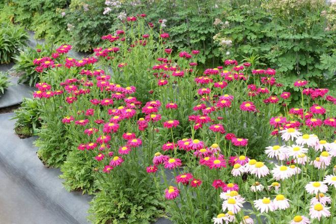 Tanacetum radiant deep pink