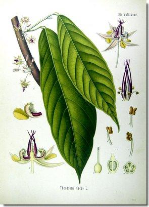 theobroma-cacao-illustration-bio.jpg
