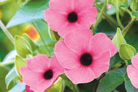 Thumbergia aeizona rose