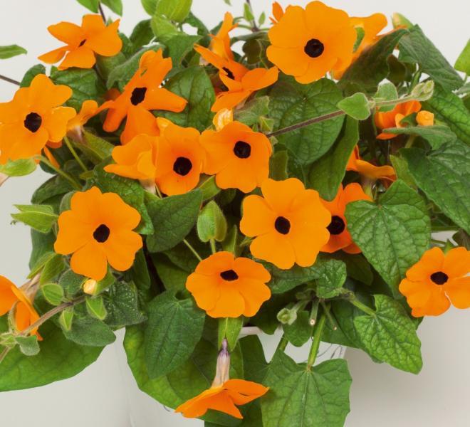 Thumbergia arizona new orange