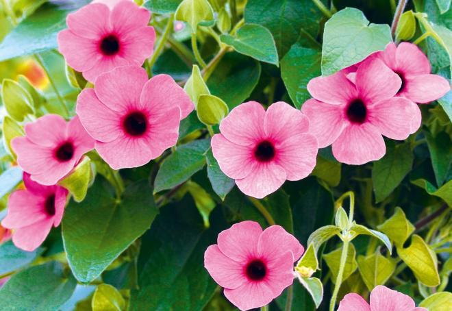 Thumbergia arizona rose sensatiion