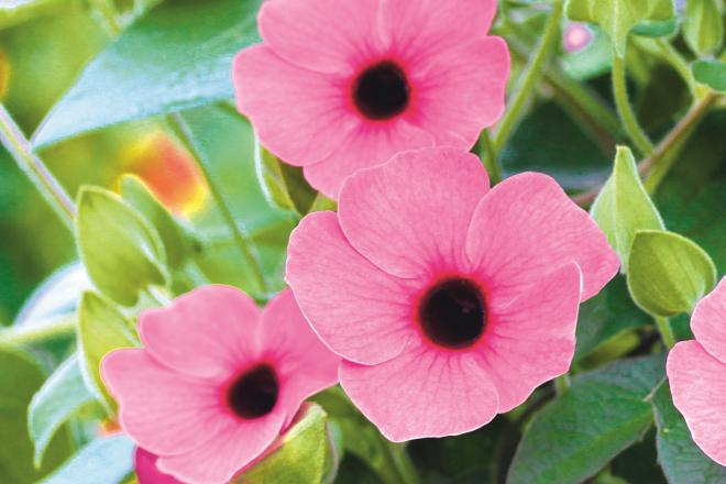Thumbergia arizona rose sensation pg
