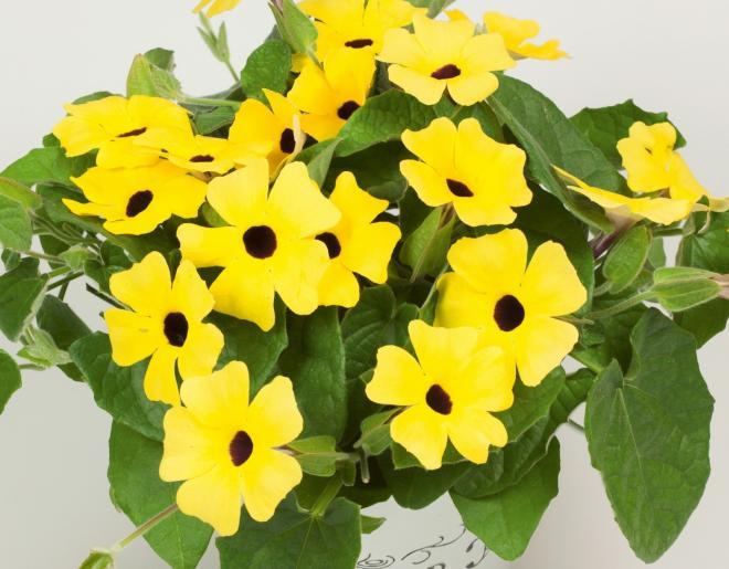 Thumbergia arizona yellow dark eye