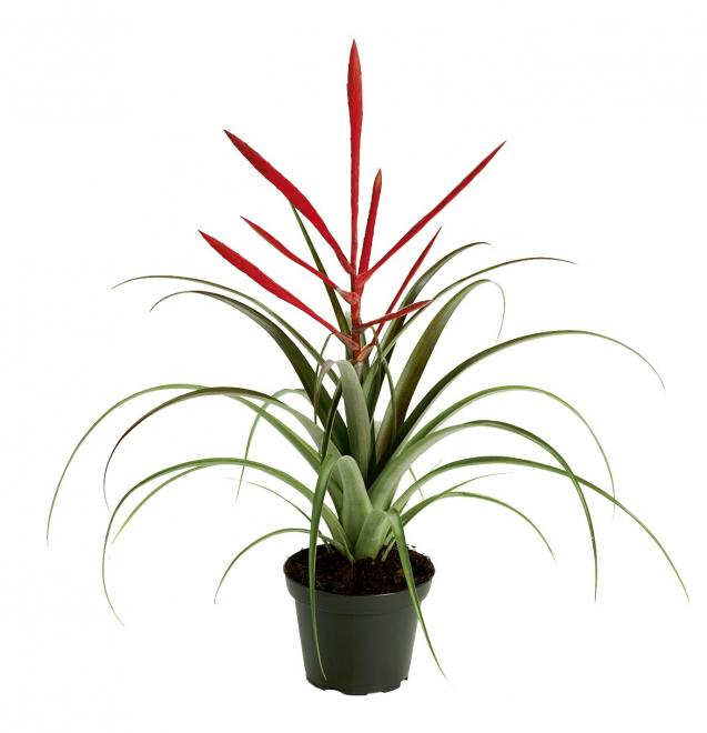 Tillandsia spirit photo corn bak