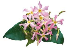 Trachelospermum asiaticum pink shower photo pepinieres travers 300x212