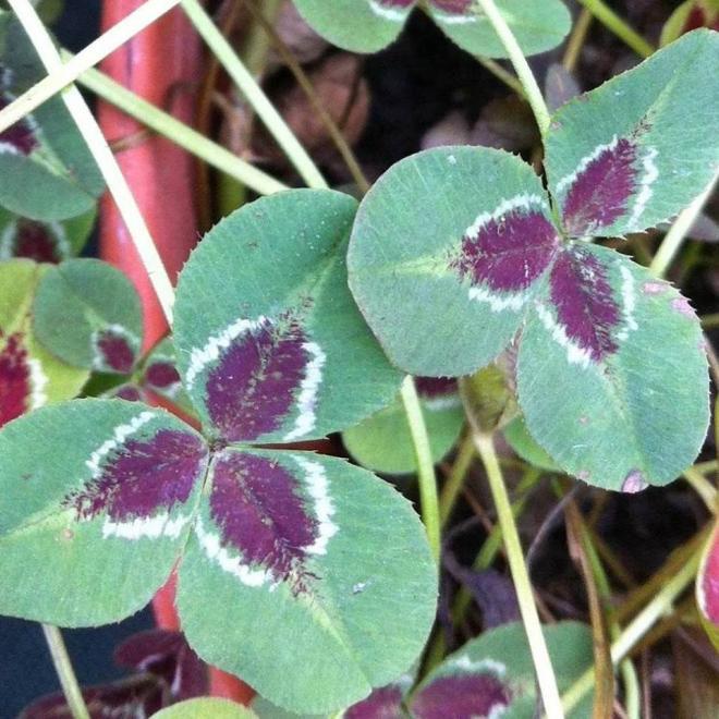 Trifolium repens josephine