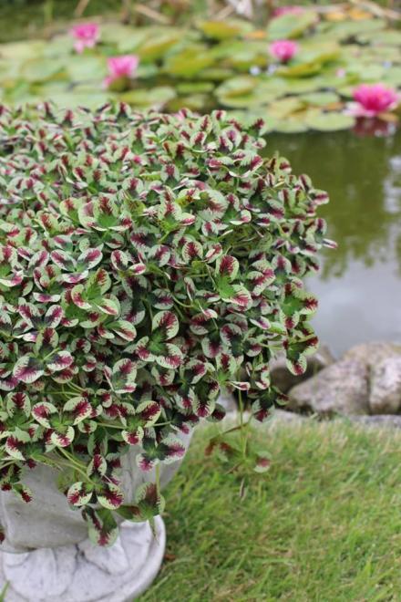 Trifolium repens sweet mike