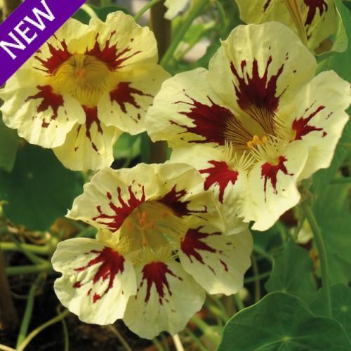 Tropaeolum majus orchid cream 500x500